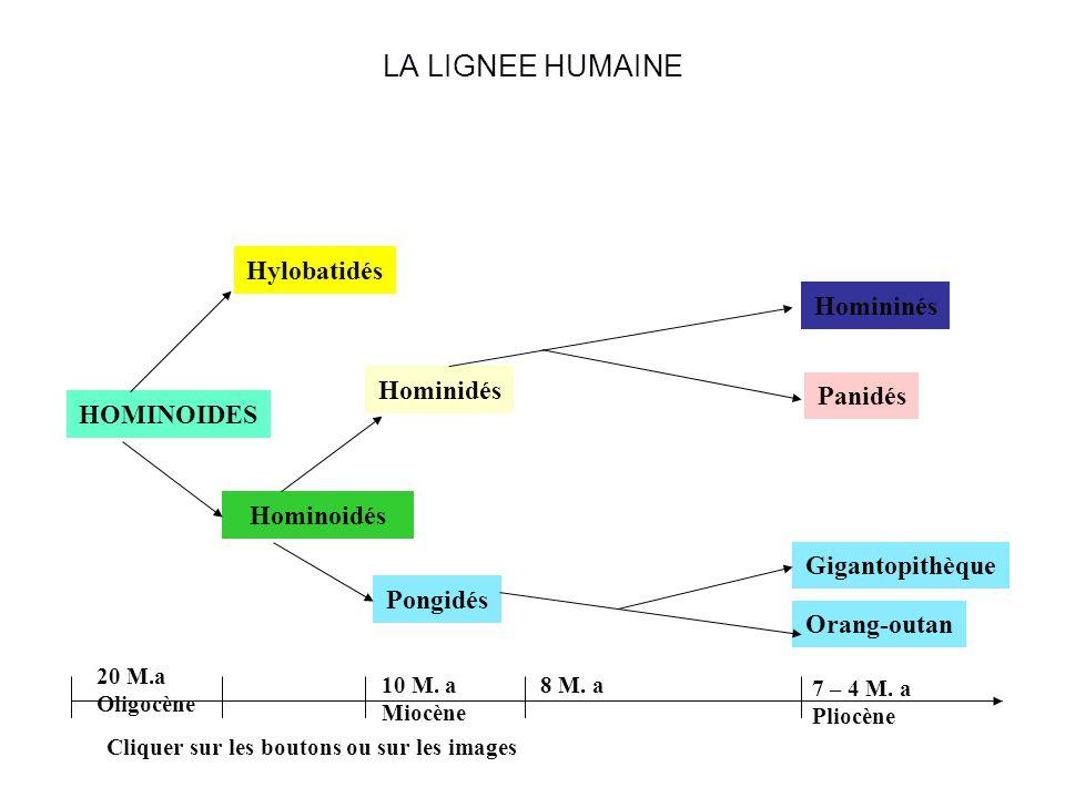 LA LIGNEE HUMAINE Hylobatidés Homininés Hominidés Panidés HOMINOIDES