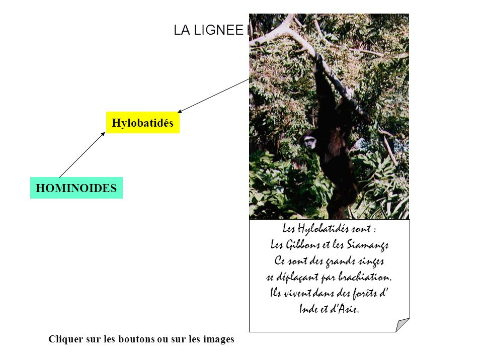 Les Gibbons et les Siamangs Ce sont des grands singes