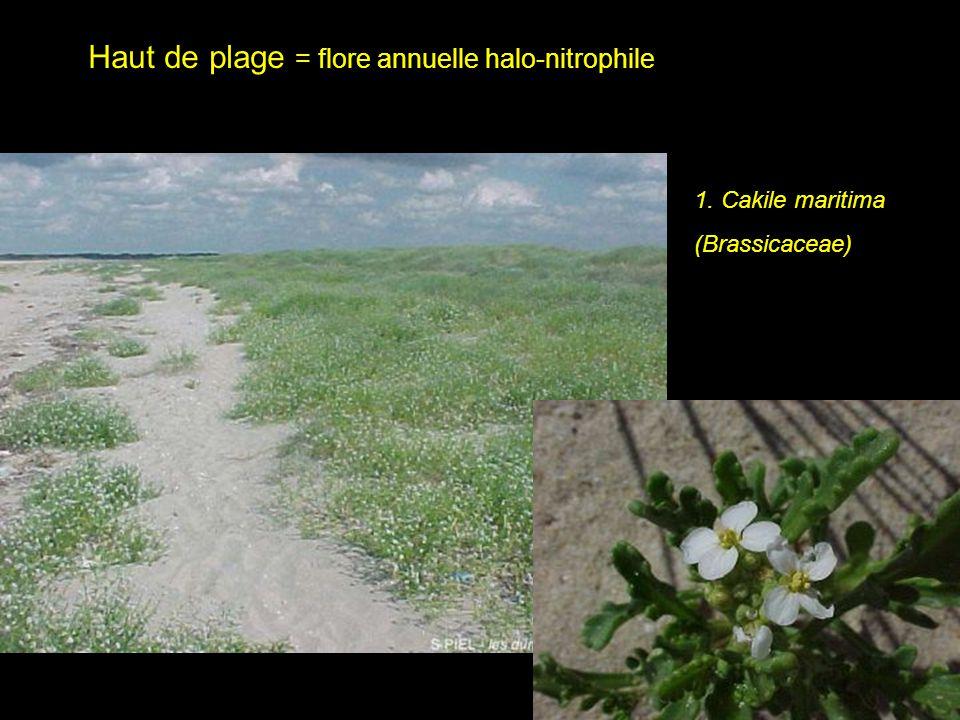 Haut de plage = flore annuelle halo-nitrophile
