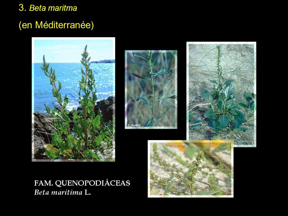 3. Beta maritma (en Méditerranée)