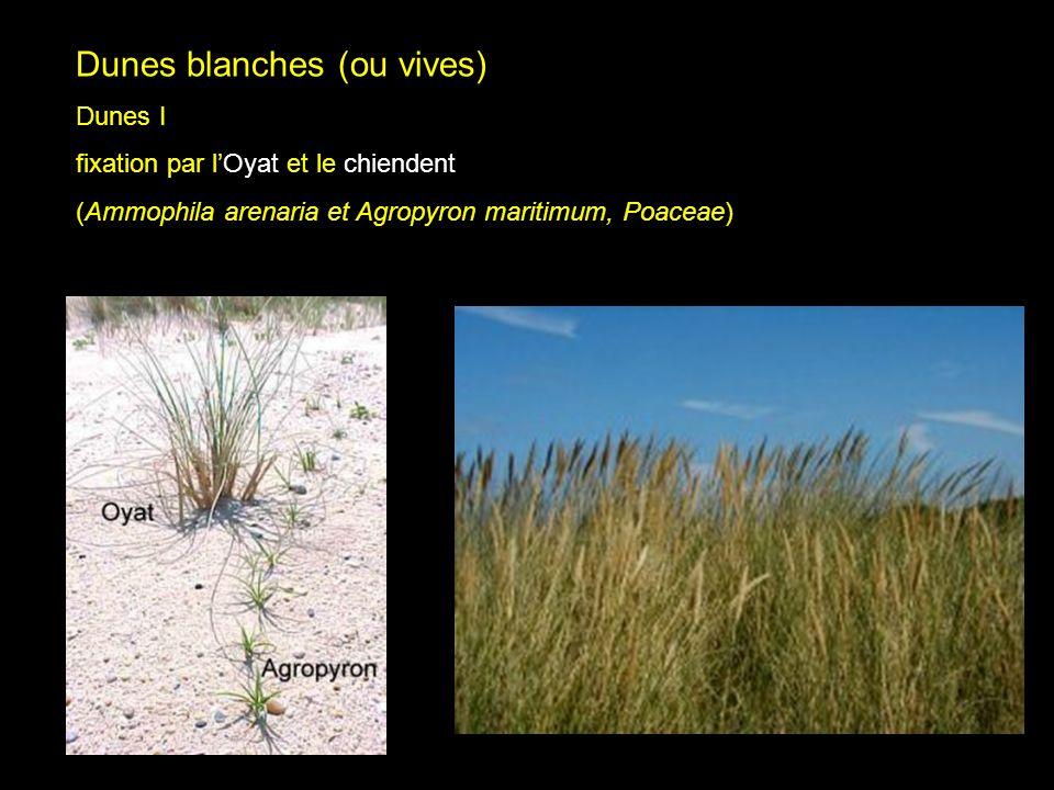 Dune vives I Dunes blanches (ou vives) Dunes I
