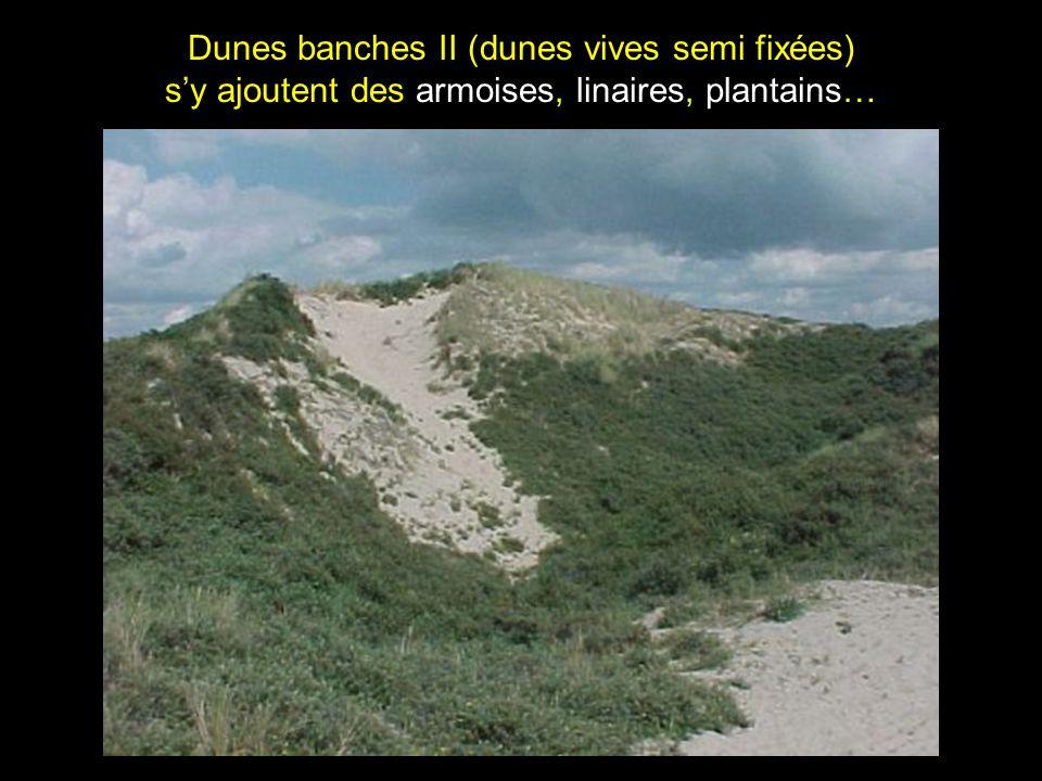 Dunes banches II (dunes vives semi fixées) s'y ajoutent des armoises, linaires, plantains…