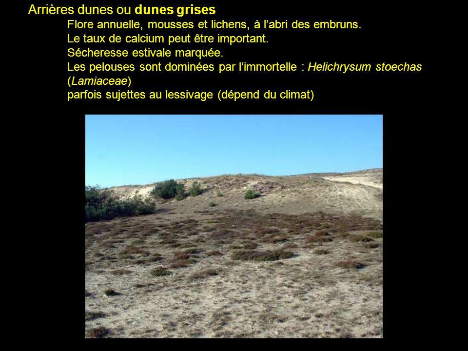 Arrières dunes ou dunes grises Flore annuelle, mousses et lichens, à l'abri des embruns.