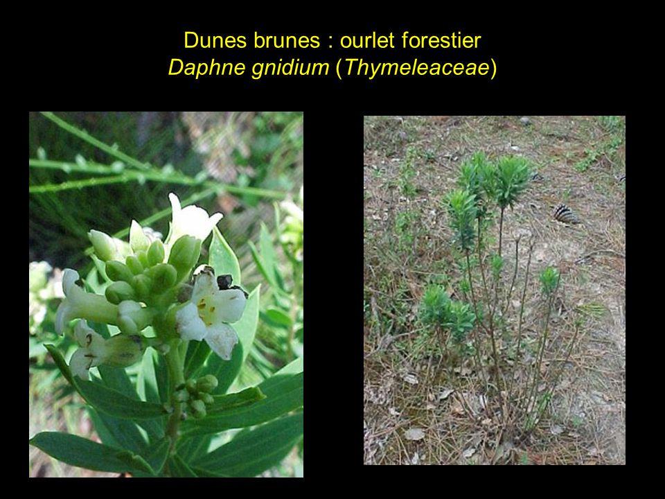 Dunes brunes : ourlet forestier Daphne gnidium (Thymeleaceae)