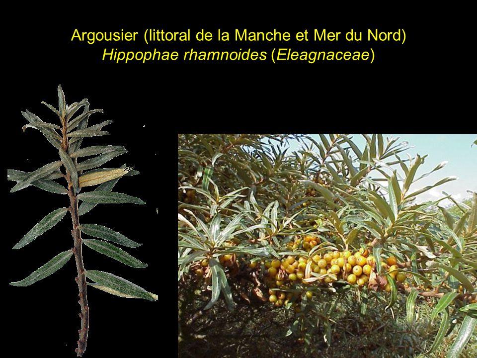 Argousier (littoral de la Manche et Mer du Nord) Hippophae rhamnoides (Eleagnaceae)