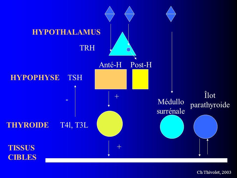 HYPOTHALAMUS TRH. Anté-H. Post-H. HYPOPHYSE. TSH. + Îlot. parathyroide. - Médullo. surrénale.