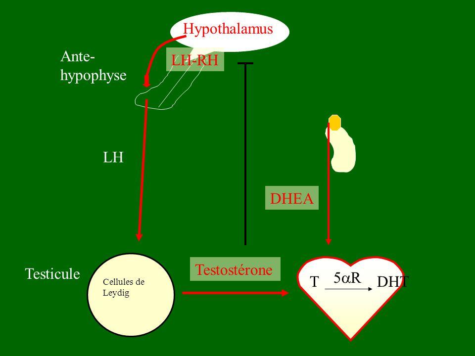 Hypothalamus Ante- hypophyse LH-RH LH DHEA Testostérone Testicule 5R