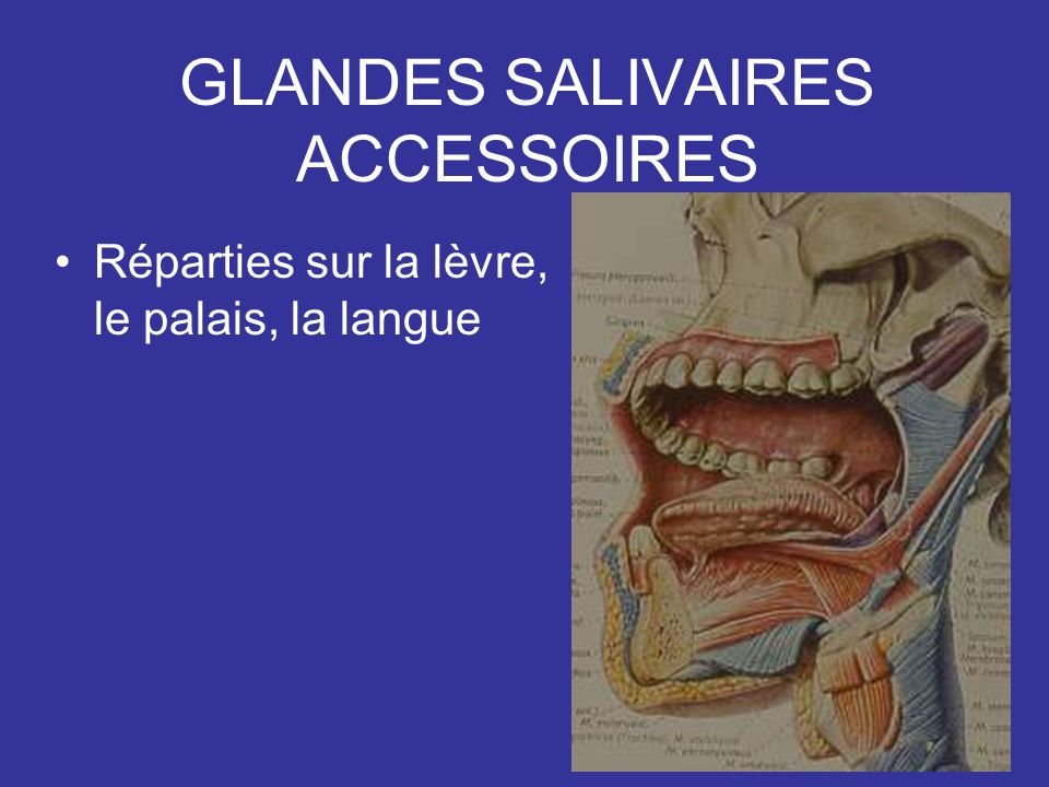 GLANDES SALIVAIRES ACCESSOIRES