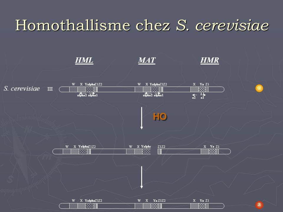 Homothallisme chez S. cerevisiae