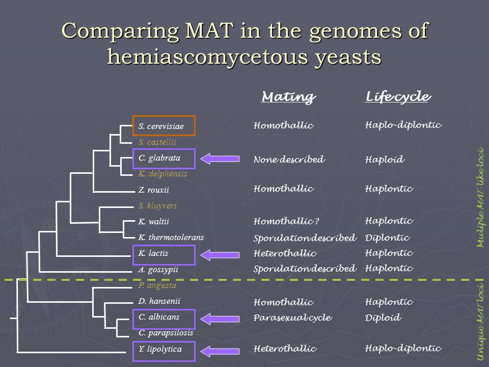 Comparing MAT in the genomes of hemiascomycetous yeasts