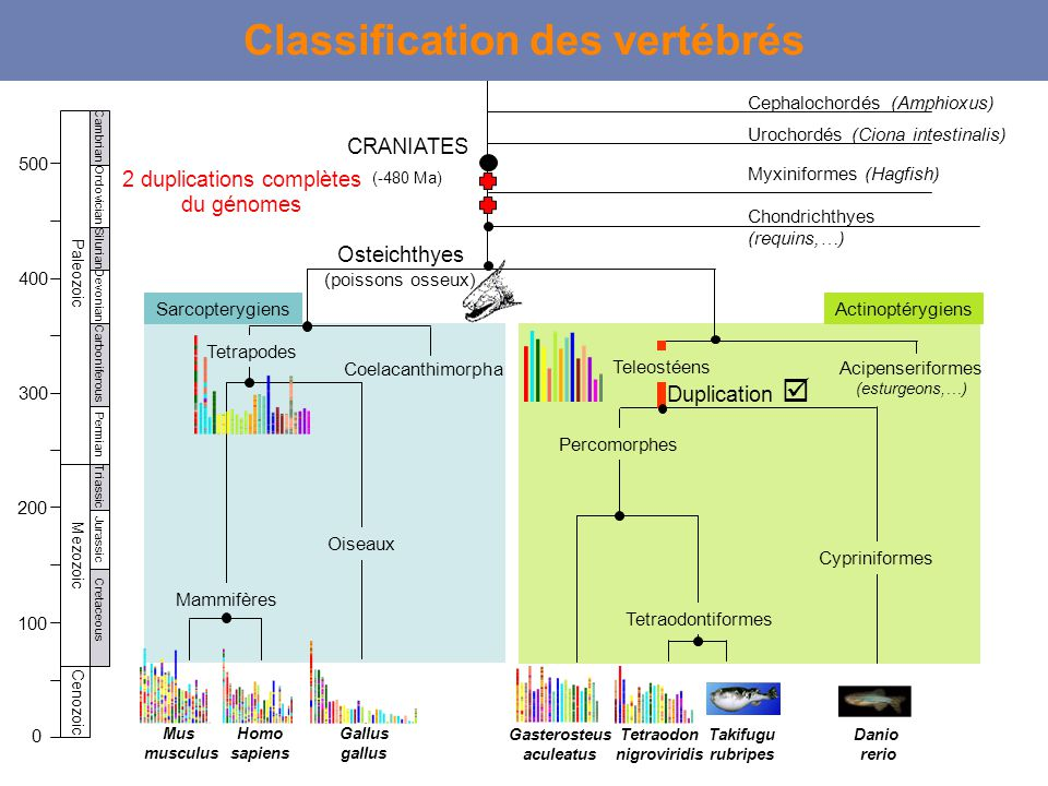Classification des vertébrés