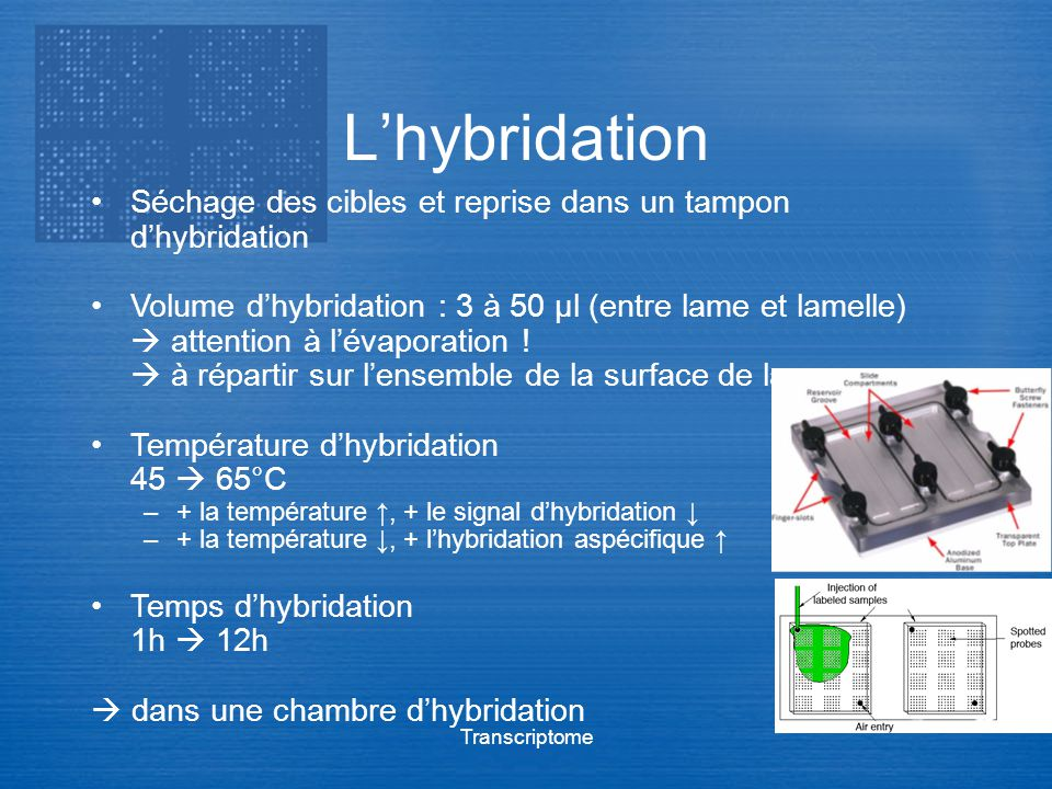 L'hybridation Séchage des cibles et reprise dans un tampon d'hybridation. Volume d'hybridation : 3 à 50 μl (entre lame et lamelle)