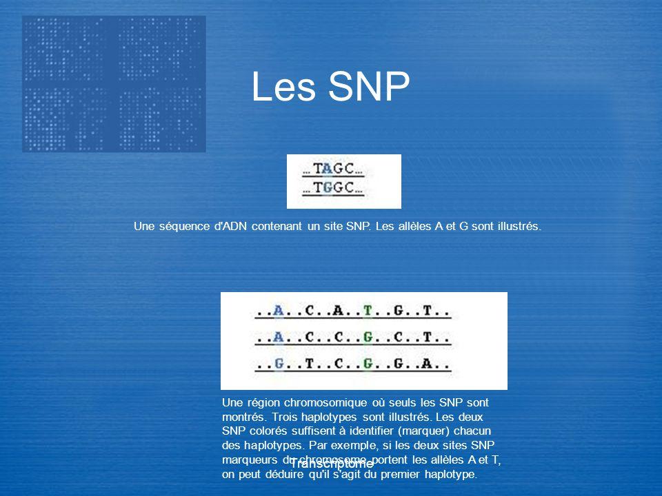 Les SNP Une séquence d ADN contenant un site SNP. Les allèles A et G sont illustrés.