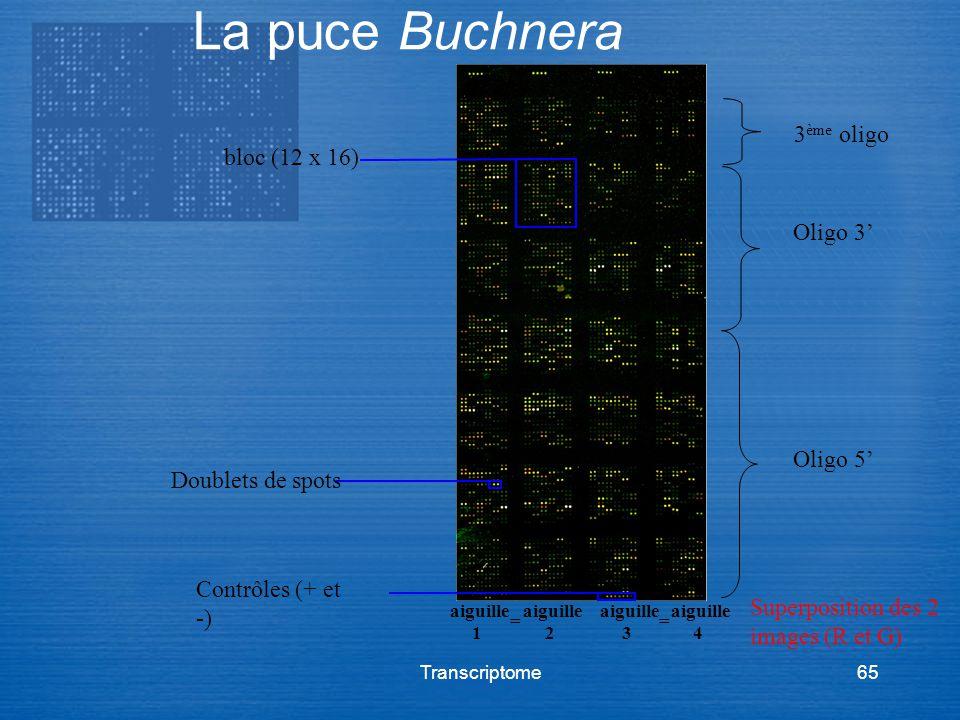 La puce Buchnera 3ème oligo bloc (12 x 16) Oligo 3' Oligo 5'
