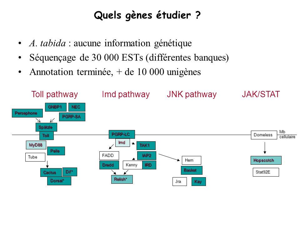 A. tabida : aucune information génétique