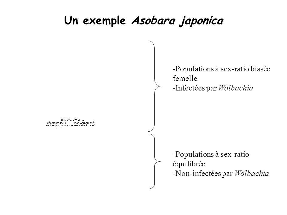 Un exemple Asobara japonica