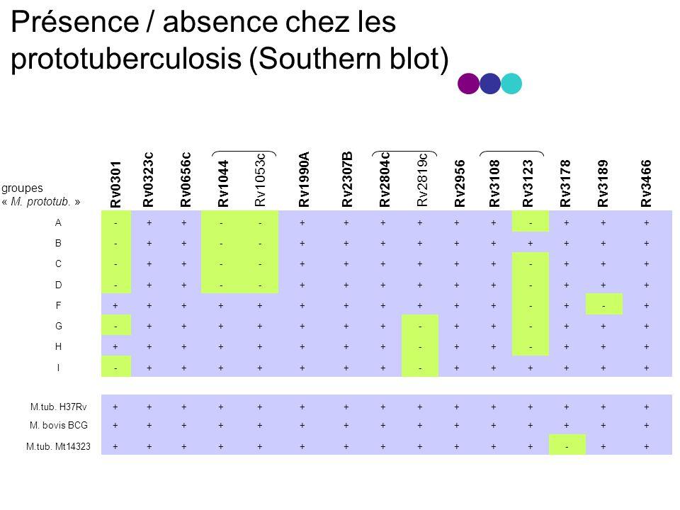 Présence / absence chez les prototuberculosis (Southern blot)