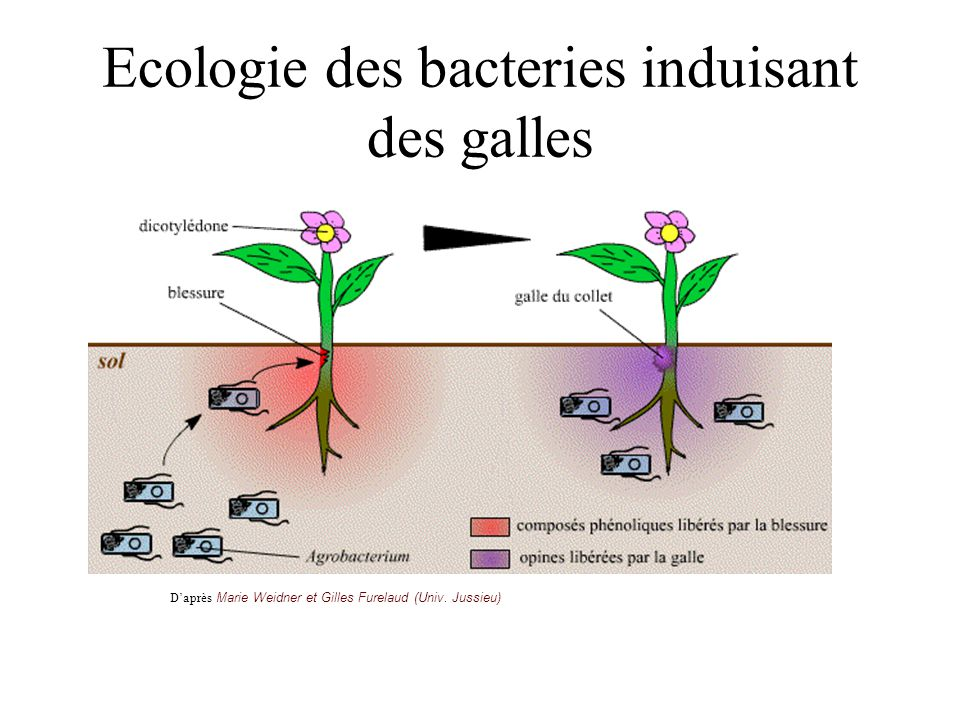 Ecologie des bacteries induisant des galles
