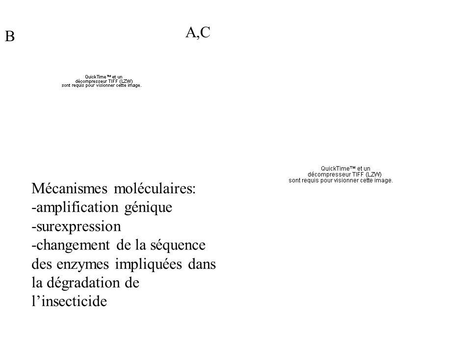A,C B. Mécanismes moléculaires: -amplification génique. -surexpression.
