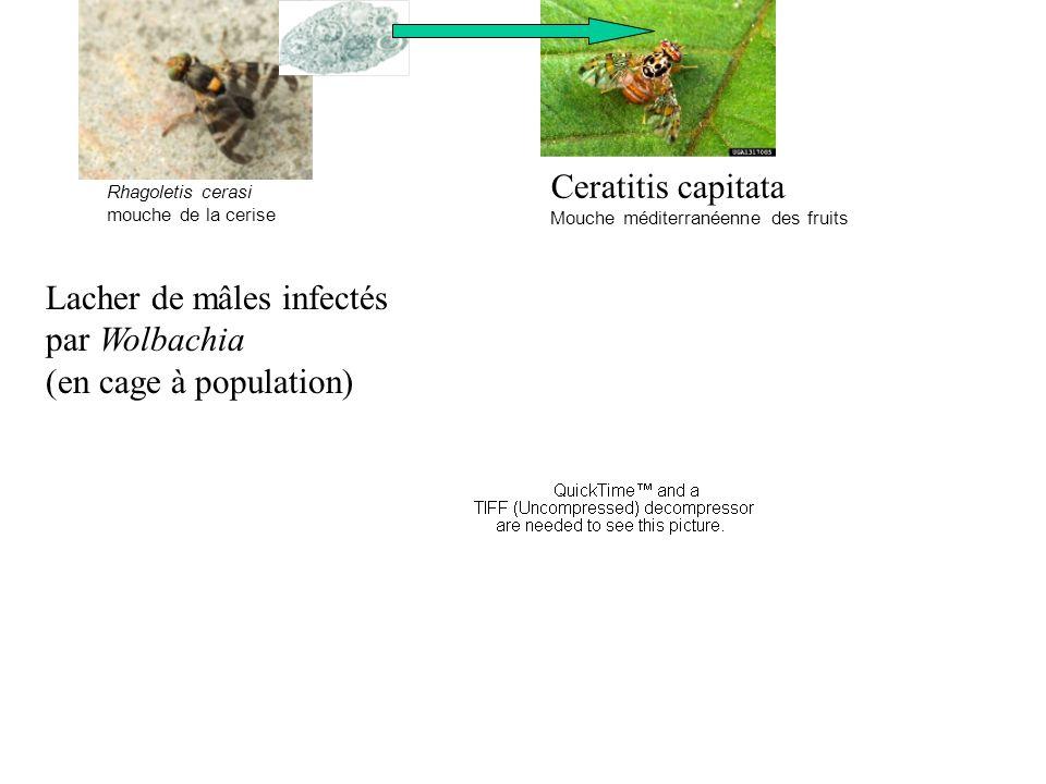 Lacher de mâles infectés par Wolbachia (en cage à population)