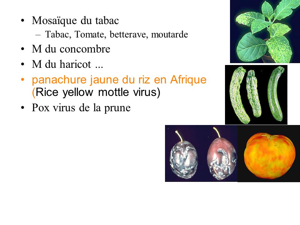 panachure jaune du riz en Afrique (Rice yellow mottle virus)