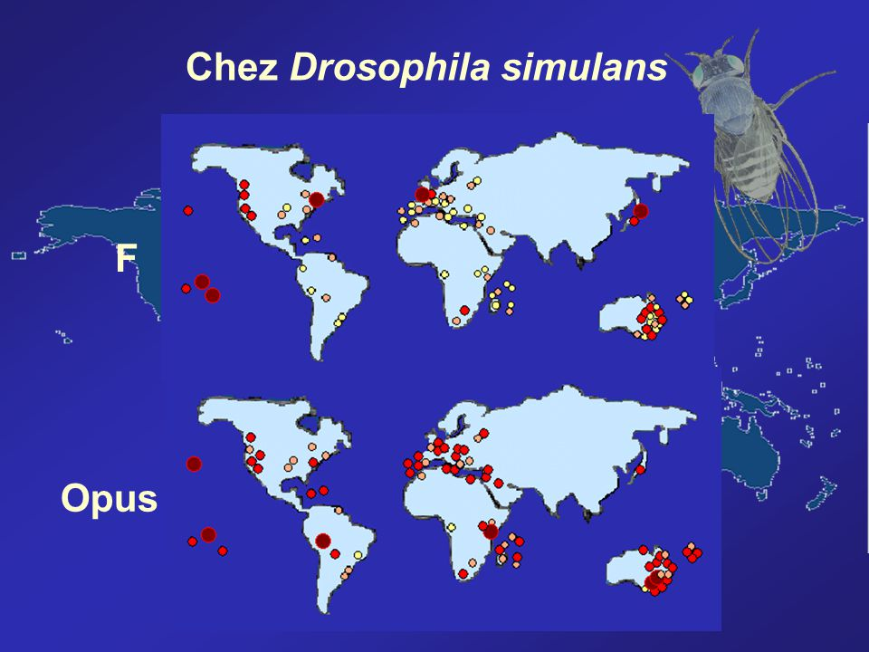 Chez Drosophila simulans
