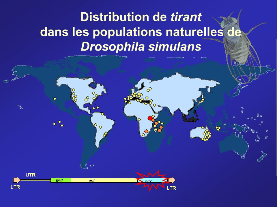 Distribution de tirant dans les populations naturelles de Drosophila simulans