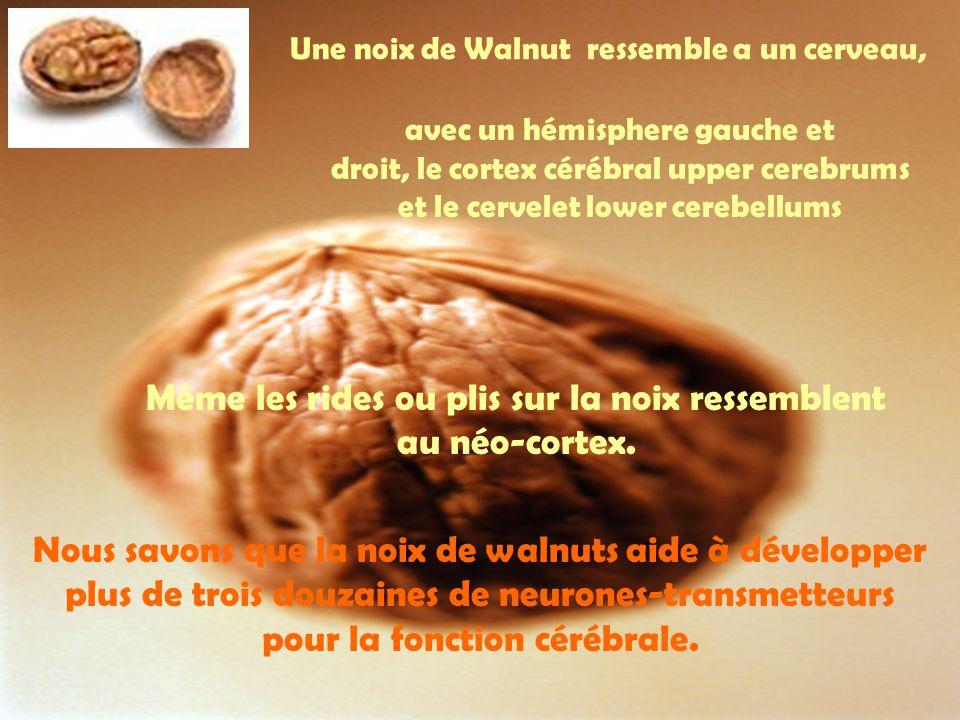 Même les rides ou plis sur la noix ressemblent au néo-cortex.