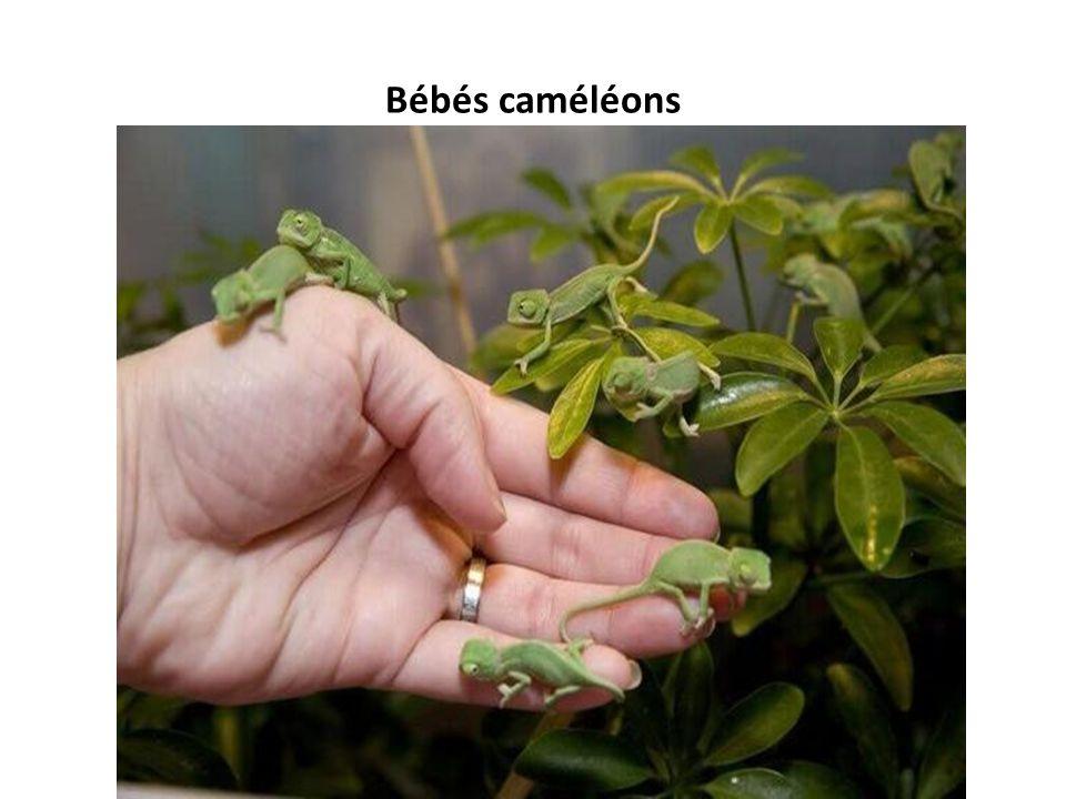 Bébés caméléons