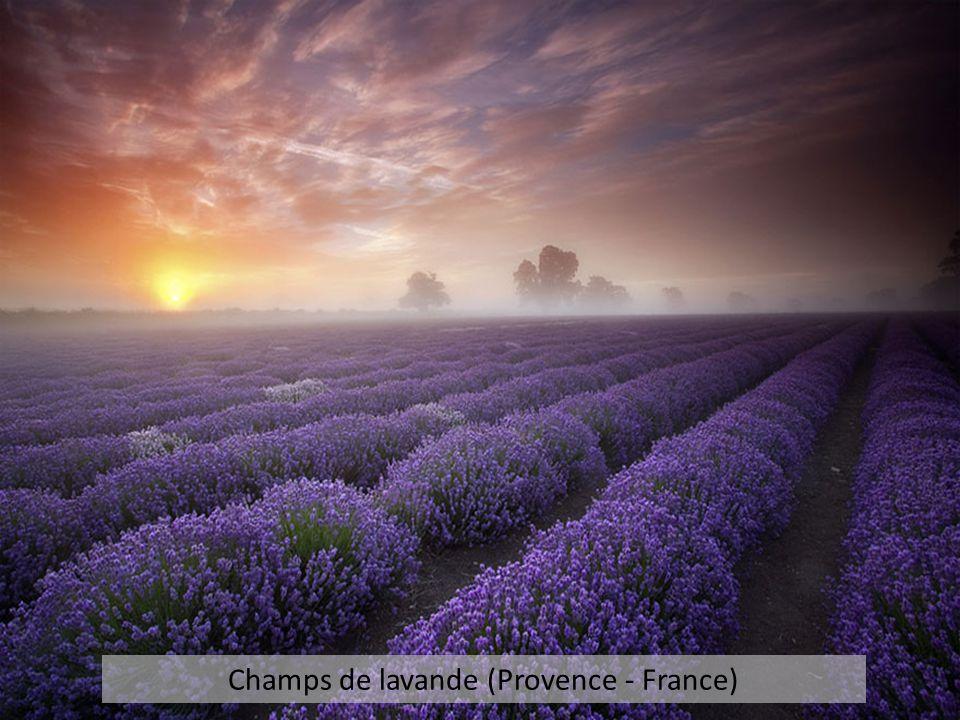 Champs de lavande (Provence - France)