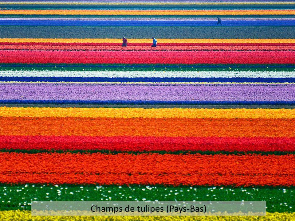 Champs de tulipes (Pays-Bas)