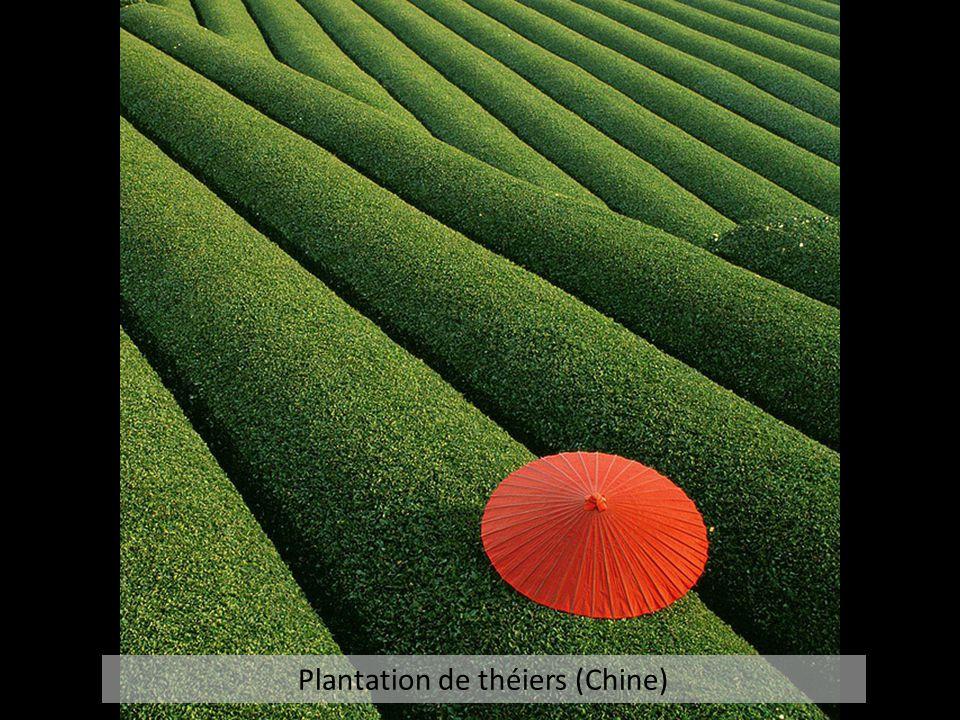 Plantation de théiers (Chine)