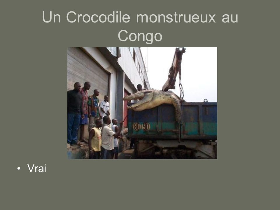 Un Crocodile monstrueux au Congo