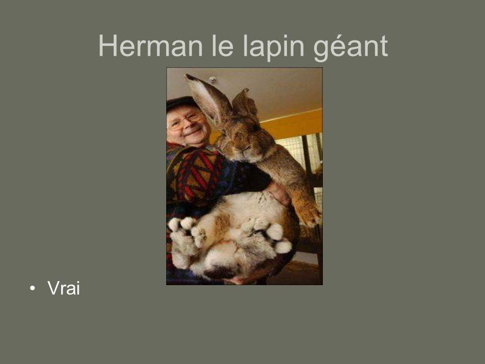 Herman le lapin géant Vrai