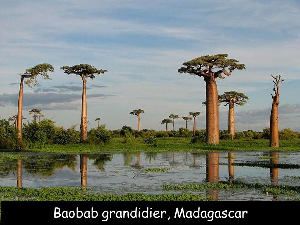 Baobab grandidier, Madagascar