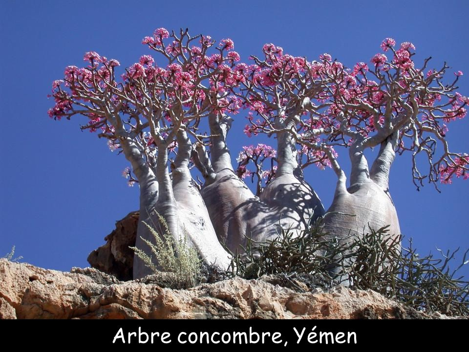 Arbre concombre, Yémen