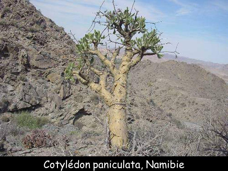 Cotylédon paniculata, Namibie
