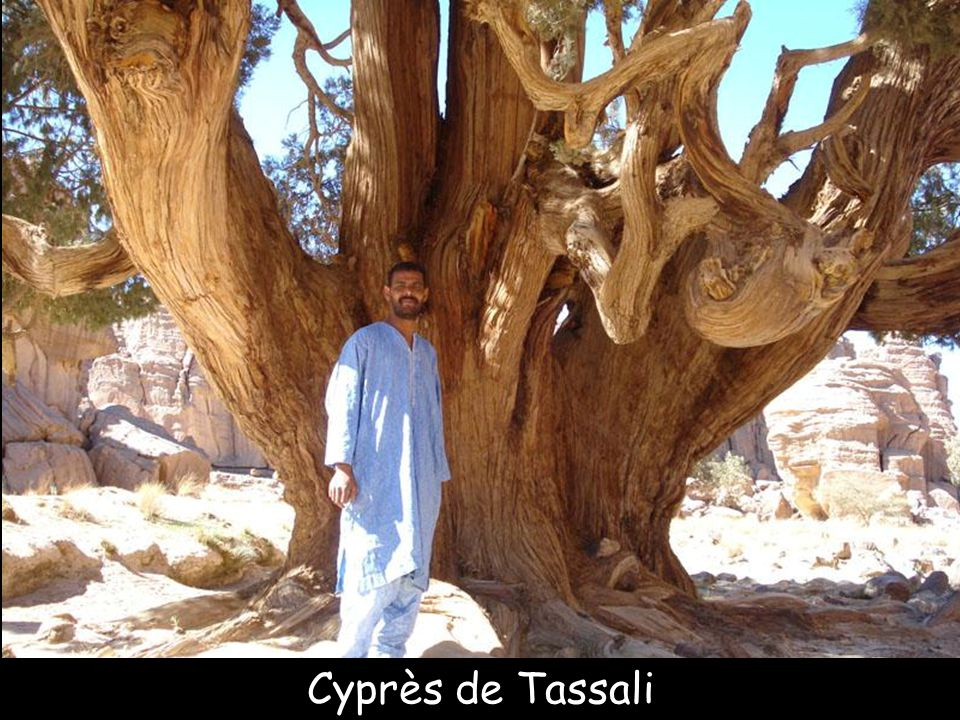 Cyprès de Tassali