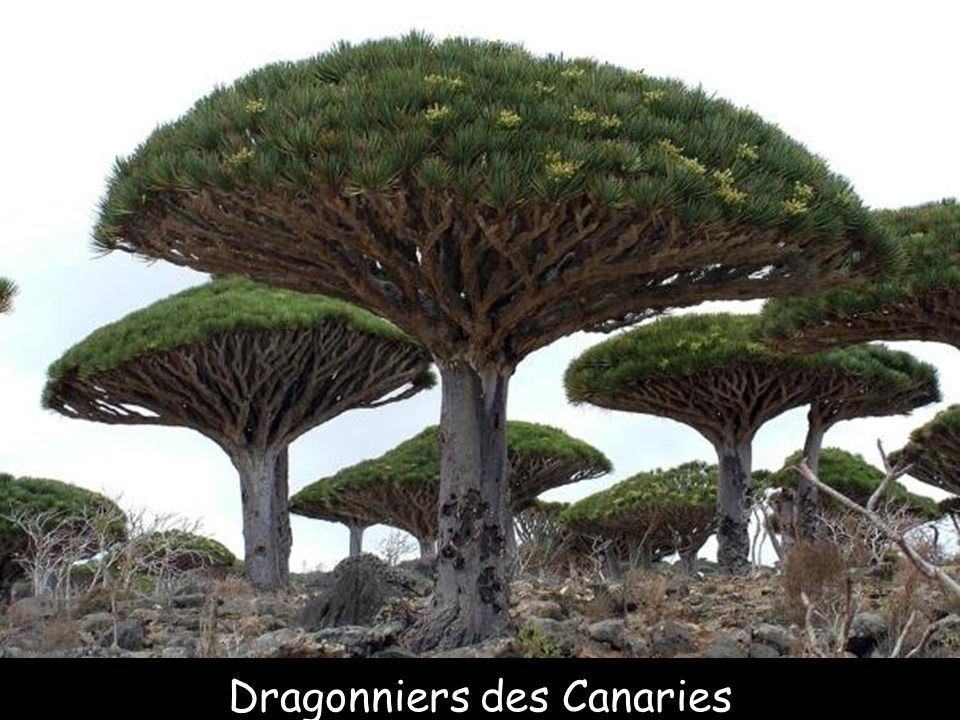 Dragonniers des Canaries