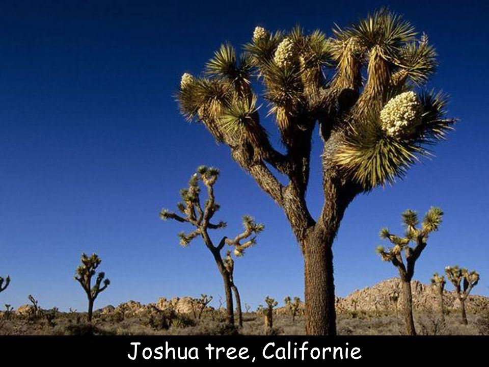 Joshua tree, Californie