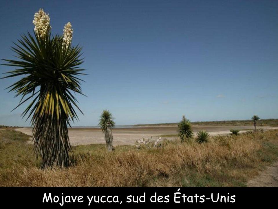 Mojave yucca, sud des États-Unis