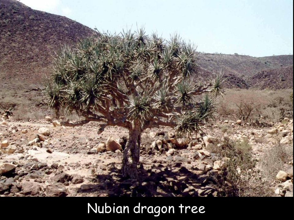 Nubian dragon tree