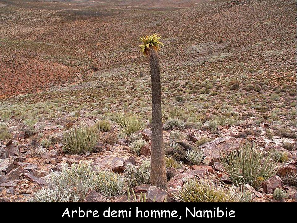 Arbre demi homme, Namibie