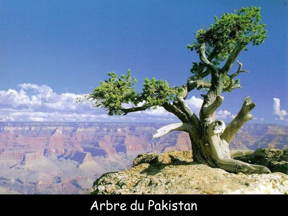 Arbre du Pakistan