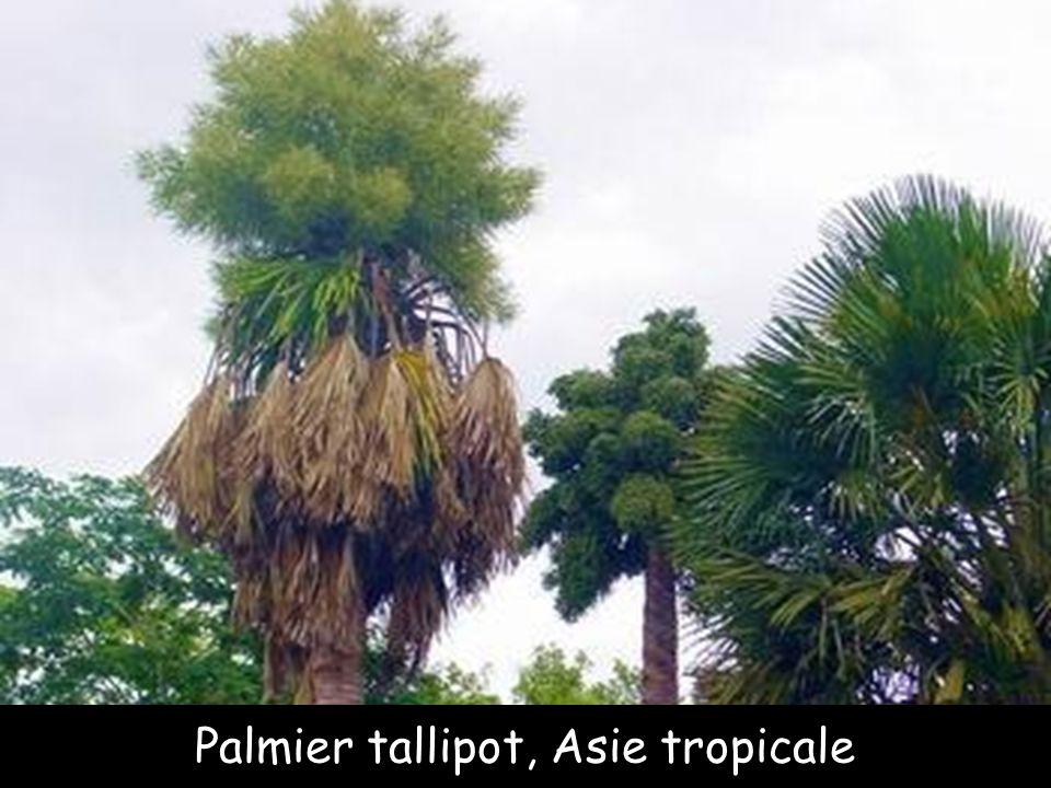 Palmier tallipot, Asie tropicale