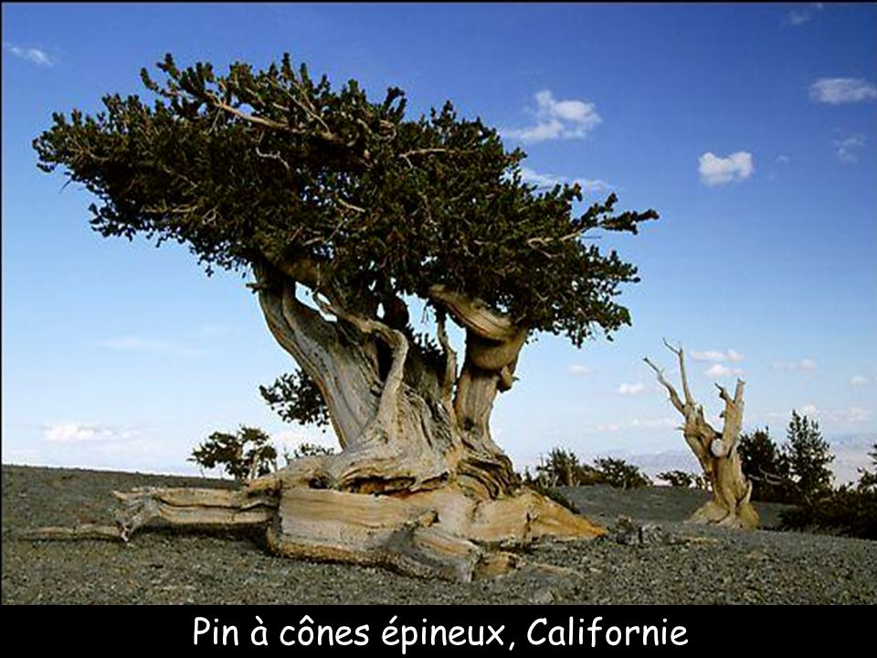 Pin à cônes épineux, Californie