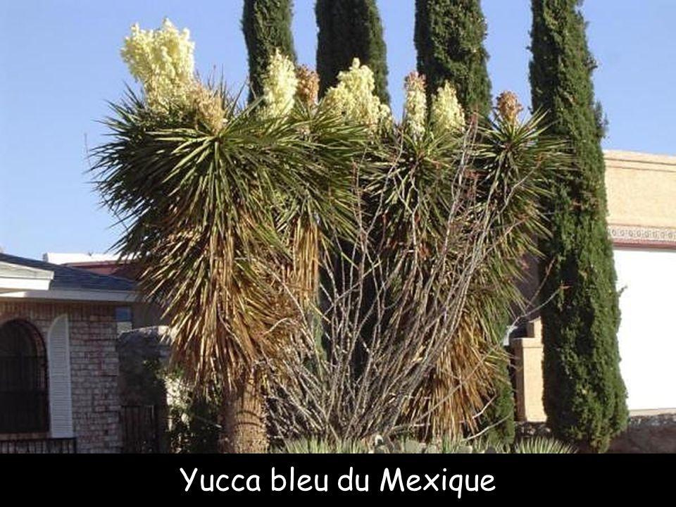Yucca bleu du Mexique