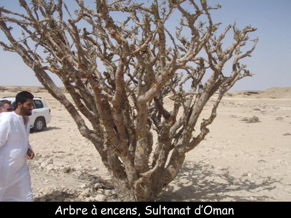 Arbre à encens, Sultanat d'Oman