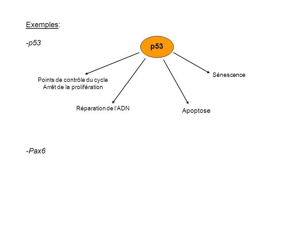 Exemples: -p53 p53 -Pax6 Apoptose Sénescence