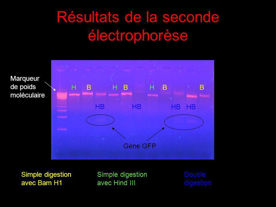 Résultats de la seconde électrophorèse